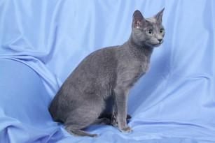 Руская голубая кошка главная